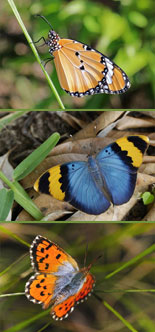 Metamorphosis Journal of the Lepidopterists' Society of Africa